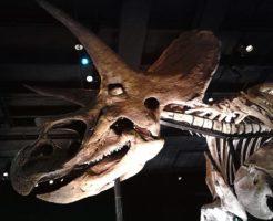 トリケラトプス 化石 発見 何体