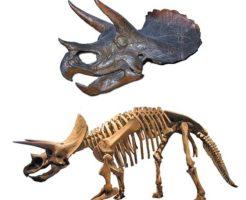 トリケラトプス 化石 値段