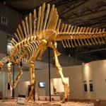 スピノサウルスの化石の展示について