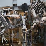 恐竜ティラノサウルスの骨の特徴について。腹肋骨の場所とは?