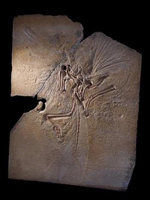 始祖鳥 鳥 特徴 大きさ