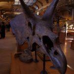 日本でトリケラトプスの化石が見れる場所はどこ!?