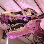 ティラノサウルスの前足は何の役割があるの!? 役割とは?