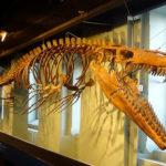 モササウルスの頭骨の大きさはどれくらい?